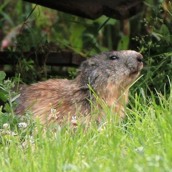 La marmotte qui a élue domicile à 10m de la terrasse du gîte la première année : wahooo !